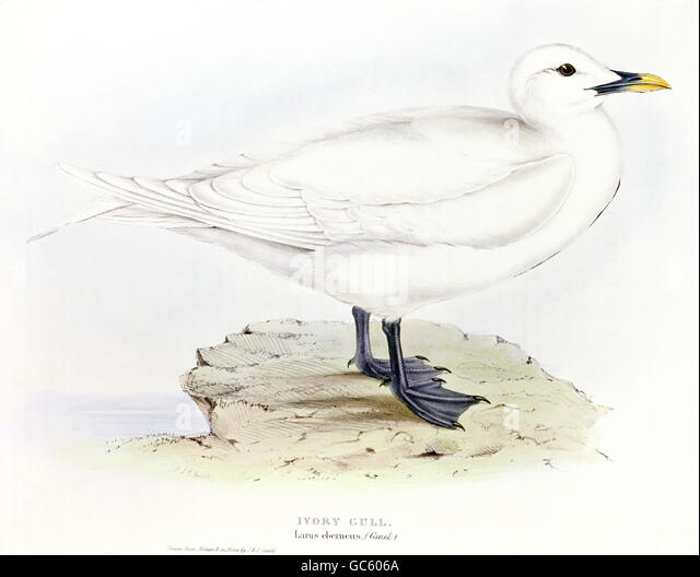 zoology, birds, seagulls, Ivory Gul, (Larus eberneus), lithograph by Edward Lear, 'the Birds of Europe' - Stock-Bilder