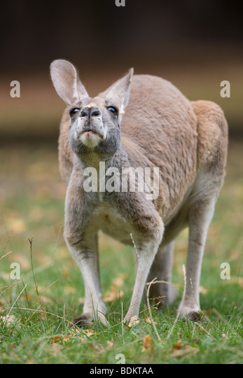 Red Kangaroo - Macropus rufus - Stock Image
