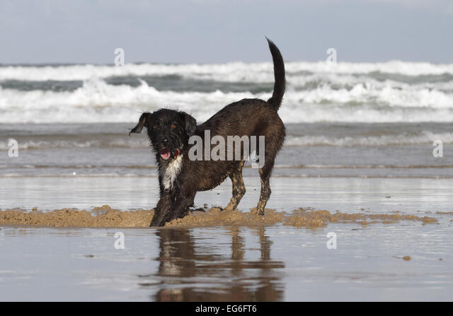 jackapoo digging on a beach - Stock Image
