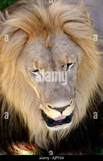 south africa outdshoorn game park lion - Stock Image