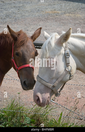 Picture of two sleepy yearling horses with ears down and heads bowed, looking shy, sad, and lonely. - Stock Image