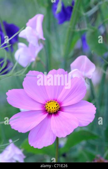 Cosmos bipinnatus Pink Cosmos flower amongst sweet pea flowers. - Stock Image