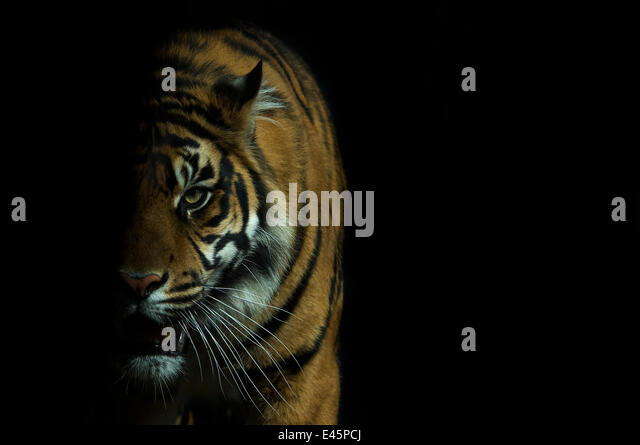 Head portrait of Sumatran tiger (Panthera tigris sumatrae) with face half cast in shadow, and mouth open, captive - Stock Image