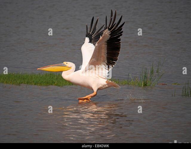 eastern white pelican (Pelecanus onocrotalus), starting form water, Kenya, Lake Nakuru National Park - Stock Image