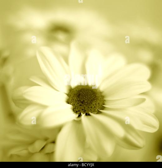 feminine chrysanthemum in duotone Jane Ann Butler Photography JABP318 - Stock Image
