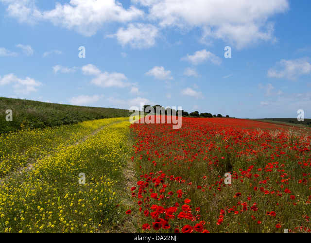 Sea of poppies: hills of the South Downs National Park, Sussex, England, covered with poppies - Stock Image