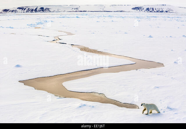 Adult polar bear (Ursus maritimus) on first year sea ice in Olga Strait, near Edgeoya, Svalbard, Arctic, Norway, - Stock Image