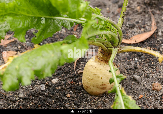 May Turnip or Nevette (Brassica rapa ssp. Rapa var majalis), North Rhine-Westphalia, Germany - Stock Image