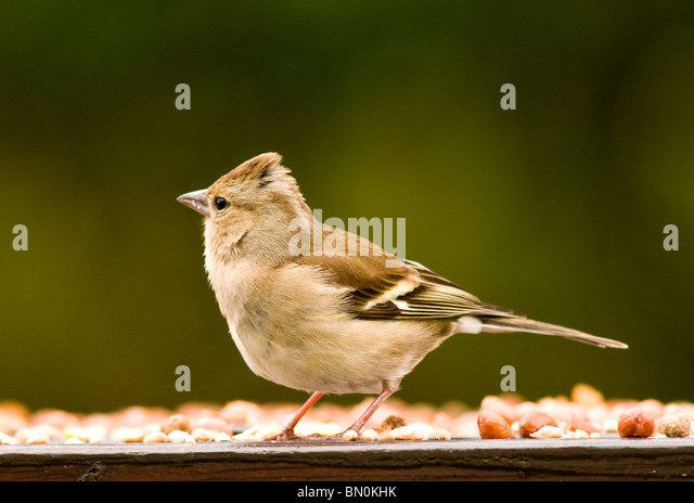 A female chaffinch on a bird table - Stock-Bilder