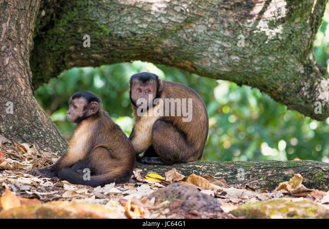 Two Hooded Capuchin monkeys. Devil's Island - Stock Image