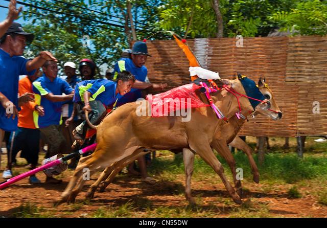 Bull racing in Madura