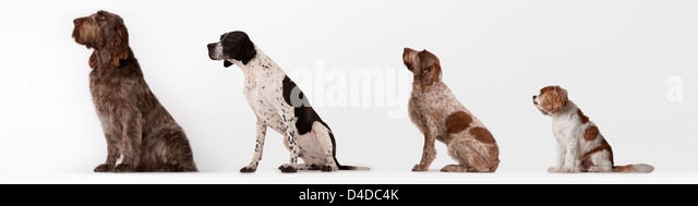 Dogs sitting in ascending order - Stock Image