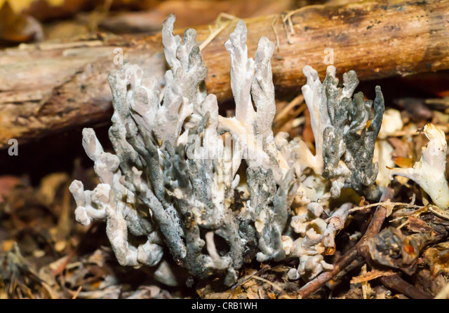 White coral mushrooms grow up through dead leaves and moss in English woodland - Stock Image