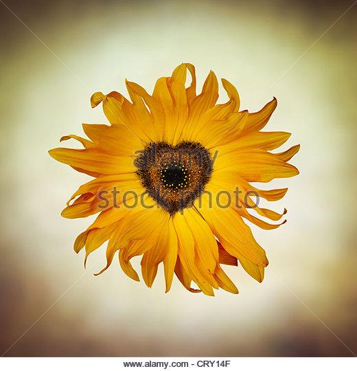 heart sunflower - Stock Image