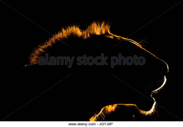 A backlit portrait of a lion, Panthera leo, at sunset. - Stock Image