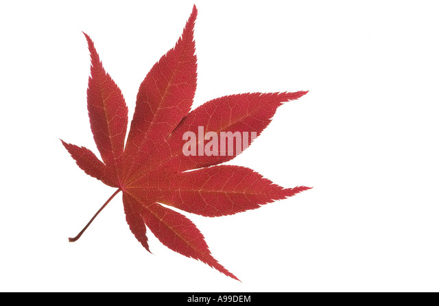 Detailed macro shot of a Japanese Maple leaf isolated on white - Stock Image