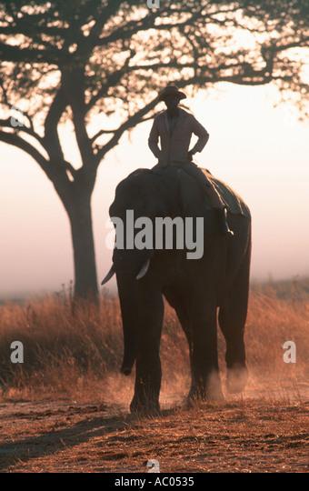 African elephant Loxodonta africana With mahout Imire Game Farm Zimbabwe - Stock Image