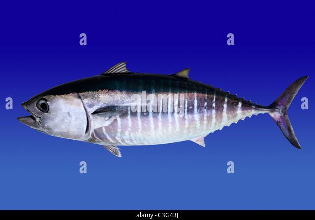 Bluefin tuna isolated on blue background real fish Thunnus thynnus - Stock Image