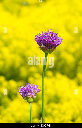 Ornamental alliums, showing seed heads against yellow flowering background , England, June - Stock Image