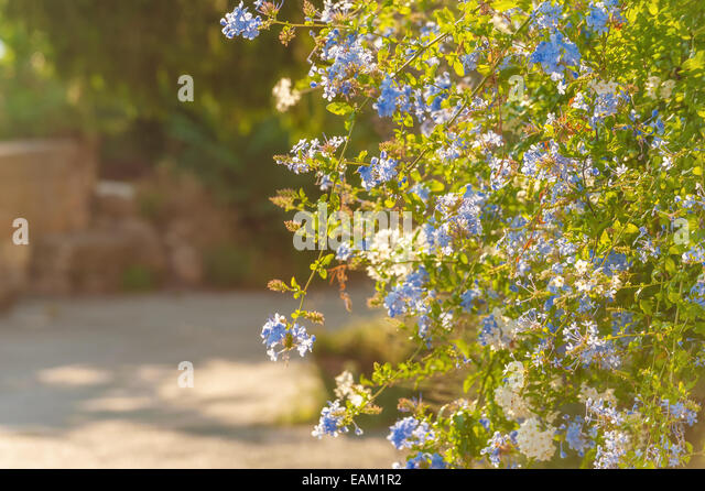 Blue flowers at the rural household in Tuscany in a beautiful sunny day - Stock-Bilder