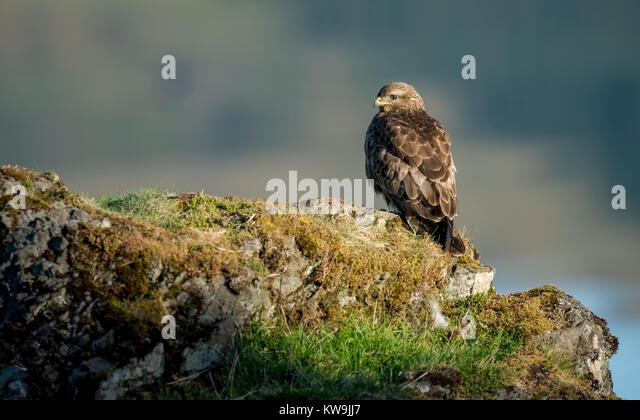 Common Buzzard - Stock Image
