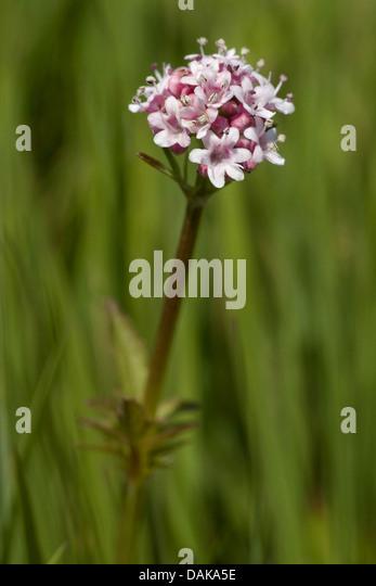 northern valerian, marsh valerian, wood valerian (Valeriana dioica), inflorescence, Germany - Stock Image