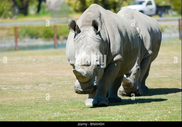 Southern White Rhino Ceratotherium simum - Stock Image