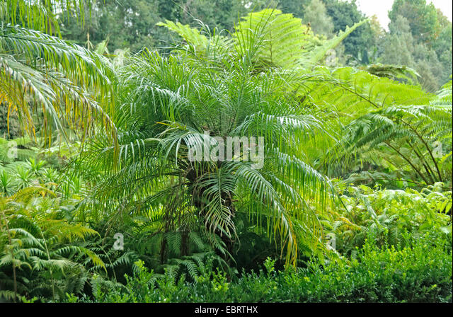 pygmy date palm, miniature date palm (Phoenix roebelenii), in a mediterranean garden together with tree ferns, Portugal, - Stock Image