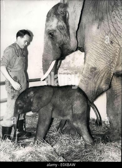 Jan. 15, 1966 - For the 3rd time in history; An african elephant was born in the zoological garden at Basel. This - Stock Image