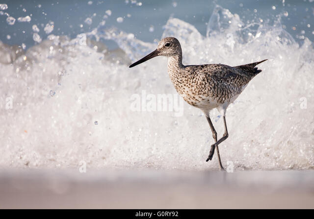 This willet is running from a wave. - Stock-Bilder