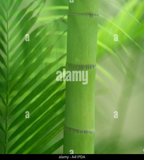 Closeup of bamboo shoot - Stock Image