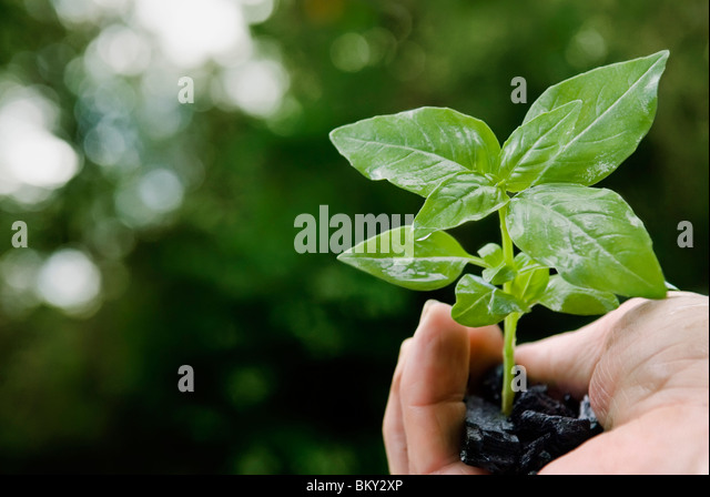 Basil plant in hand full of coal - Stock Image