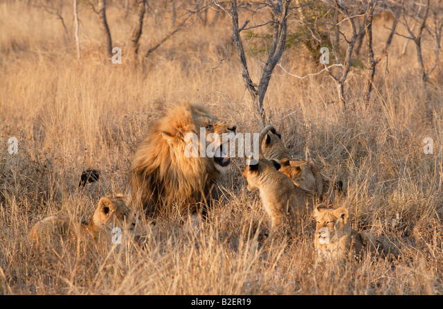 A male lion surrounded by his cubs, snarling impatiently as a cub snarls back - Stock Image