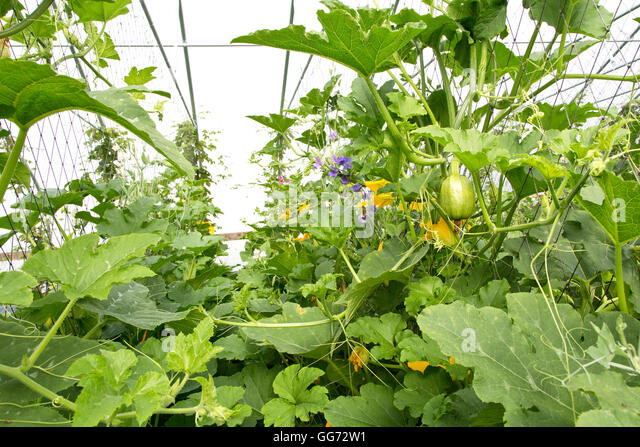Spaghetti Squash growing & flowering  in tunnel. - Stock Image