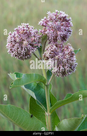 milk weed latex
