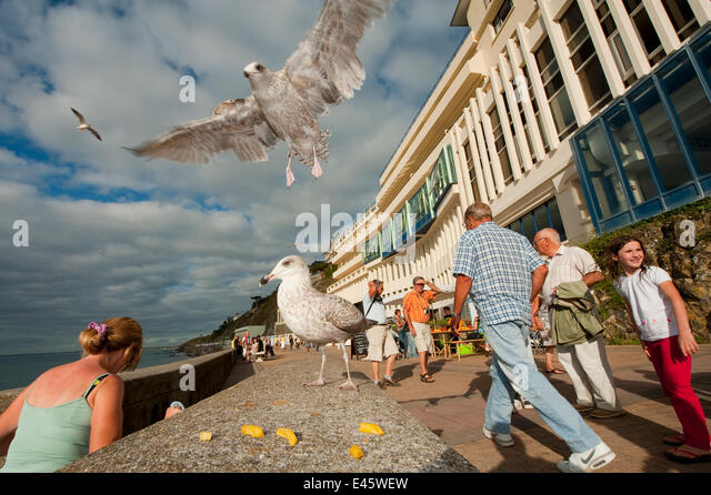 Herring gull (Larus argentatus) swooping down to feed on chips in a busy seaside resort, France - Stock Image