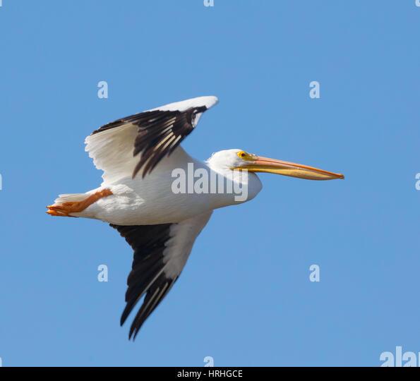 Pelicans Pelecanus Erythrorhynchos: Birds Soaring Stock Photos & Birds Soaring Stock Images