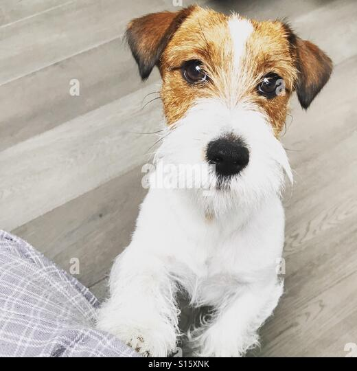 Jack Russell in action - Stock-Bilder
