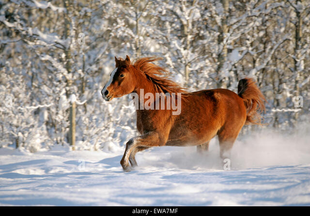 Purebred Chestnut Arabian Mare running through fresh snow - Stock Image