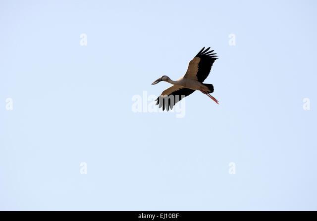 Asian openbill, flying, Thailand, Bec, ouvert indien, bird, wader, anastomus oscitans, flight - Stock-Bilder