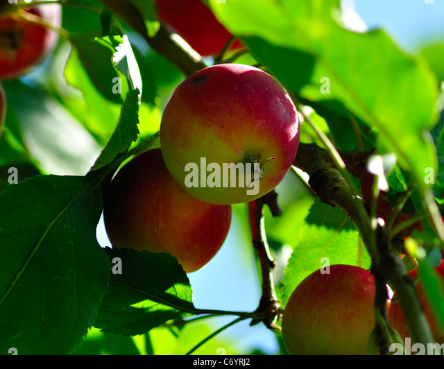 Apple; Apple Tree; Fruit; Tree; Harvesting; Crop; Farm; agriculture; red; background; beautiful; beauty; branch; - Stock Image
