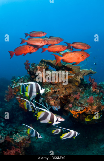School of big eye snappers and banner fish, South Africa, Indian Ocea - Stock Image