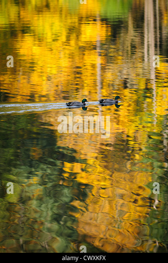 Mallard ducks and fall color reflected in water at Battle Ground Lake State Park, Clark County, Washington. - Stock Image