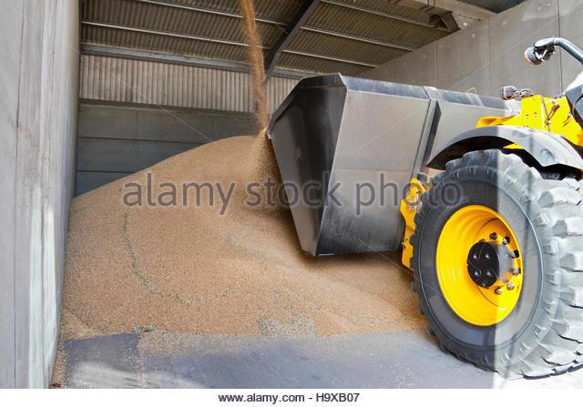 Dumper Truck Moving Wheat In Grain Store - Stock Image