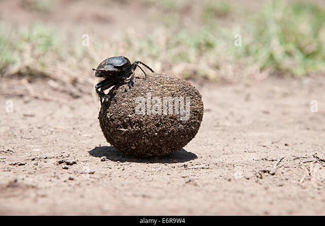Dung beetle rolling ball of dung faeces in Lake Nakuru National Park Kenya East Africa - Stock Image