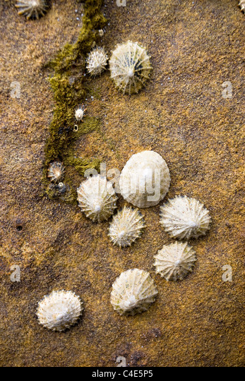 Barnacles, Limpets and Snails at Runswick Bay, East Coast Yorkshire, England - Stock Image