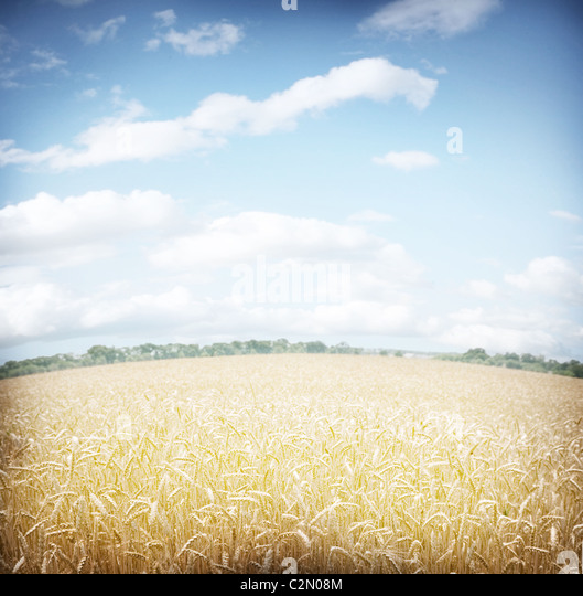 Wheat field and blue sky. - Stock Image