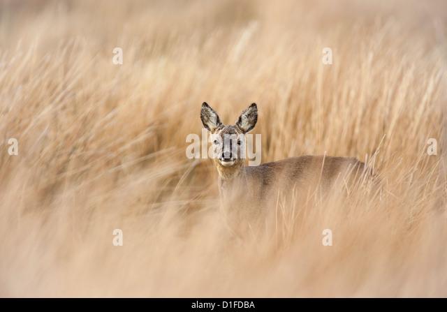 Roe deer buck (Capreolus capreolus), Islay, Scotland, United Kingdom, Europe - Stock Image