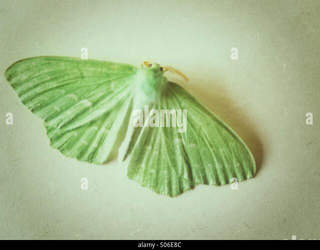 Green moth - Stock Image