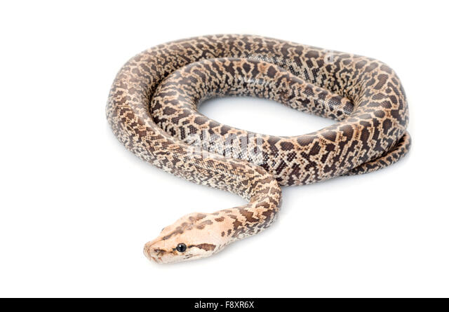 White Reticulated Python Stock Photos & White Reticulated ...